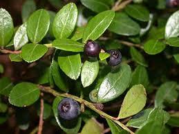 Gaylussacia+brachycera 6 Jenis tumbuhan tertua di dunia