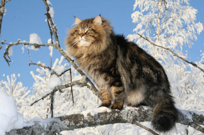 Siberian cat in a tree