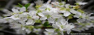 Couverture facebook timeline fleurs blanches