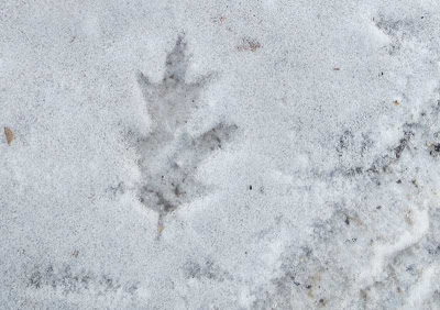 Thin coating of snow with an oak leaf shape printed into it