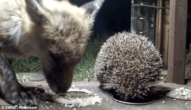 Fox and hedgehog captured eating together on webcam