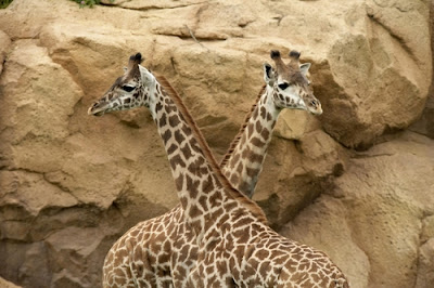 Nashville zoo gerrafe  - Nashville Zoo Grassmere Hours and Coupons