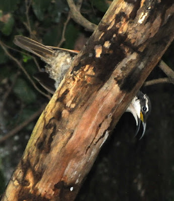 Paradise Riflebird (Ptiloris paradiseus)