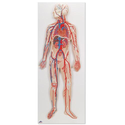 Anatomía Macroscópica: Sistema articular.