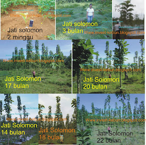 Kembali kami buka penawaran petak - petak investasi Sengon Solomon