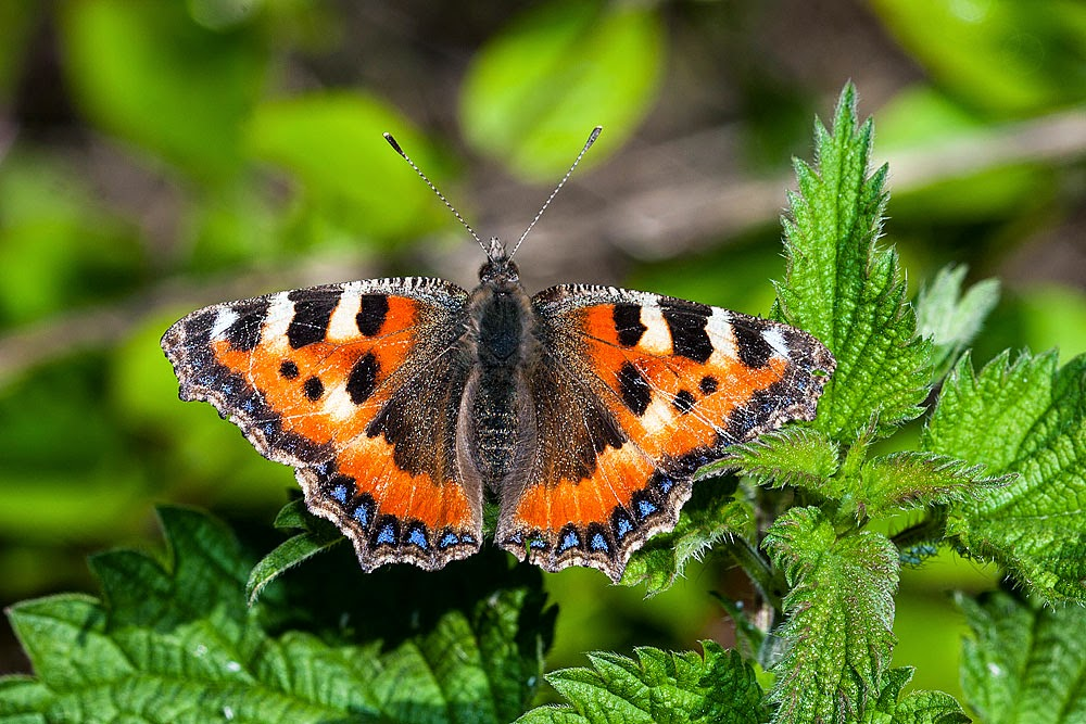 Small Tortoiseshell - Loughton Valley Park, Milton Keynes