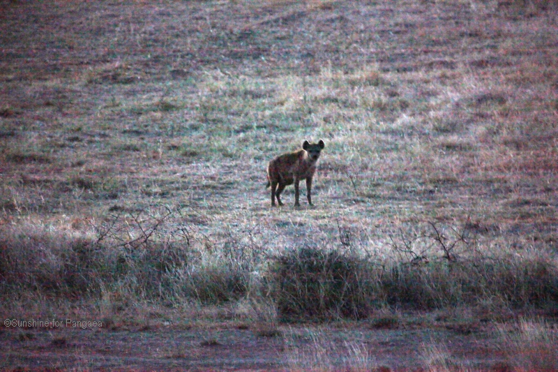 Spotted hyena by the hyena caves in the Awash National Park