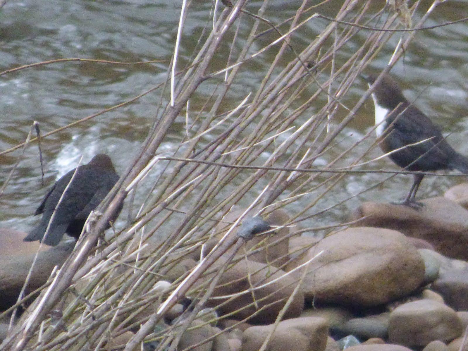 River Aire Bingley - 19/01/16