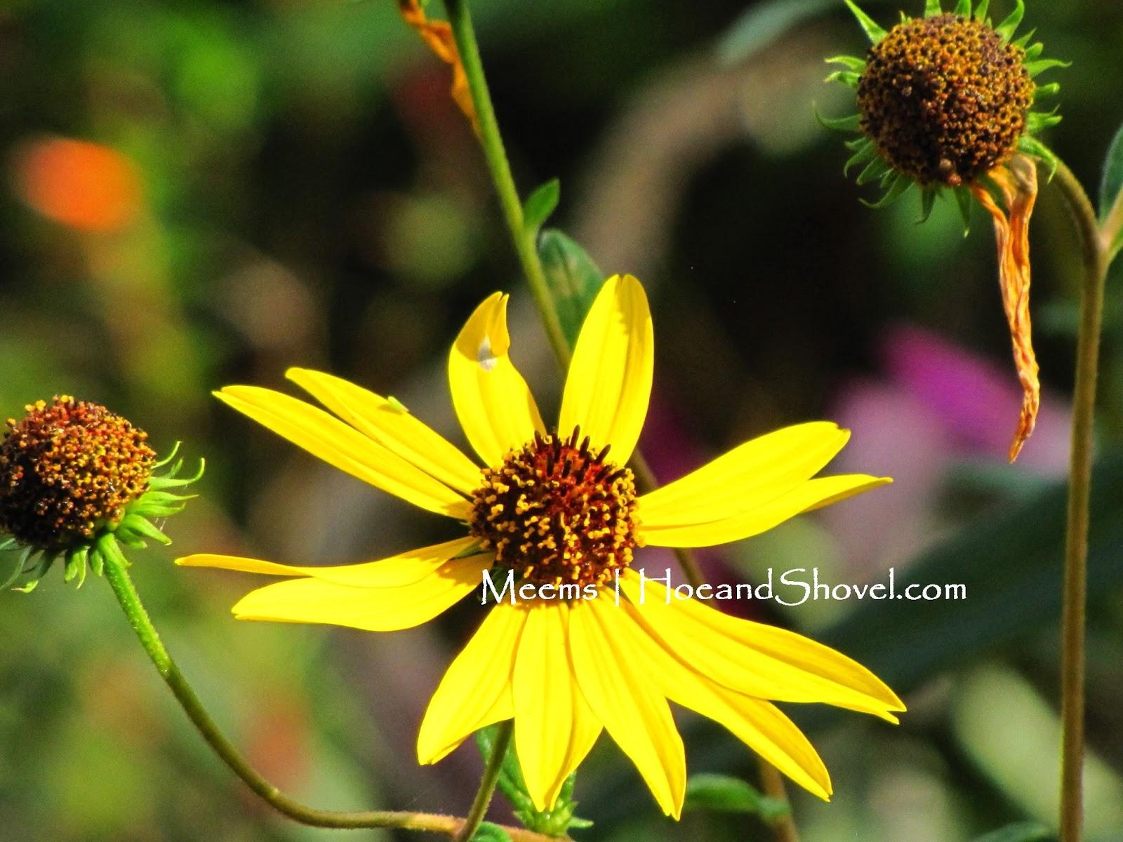 Hoe And Shovel Swamp Sunflower