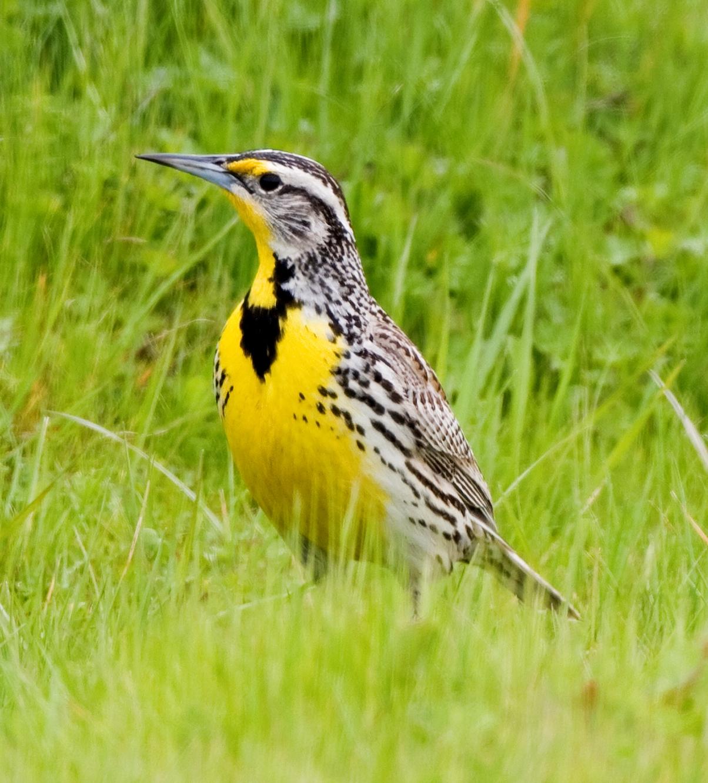 http://1.bp.blogspot.com/-jmw3DkUs_hM/TZTXa4go4NI/AAAAAAAAAs4/dtY3mfuy5ZE/s1600/Western+Meadowlark+image.jpg