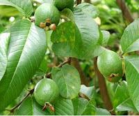 Khasiat buah jambu biji