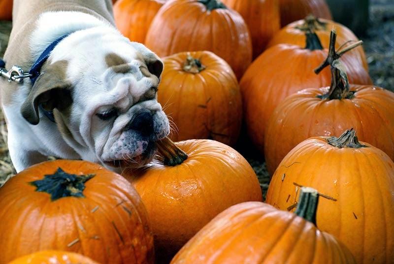 Cachorro pode comer abóbora?