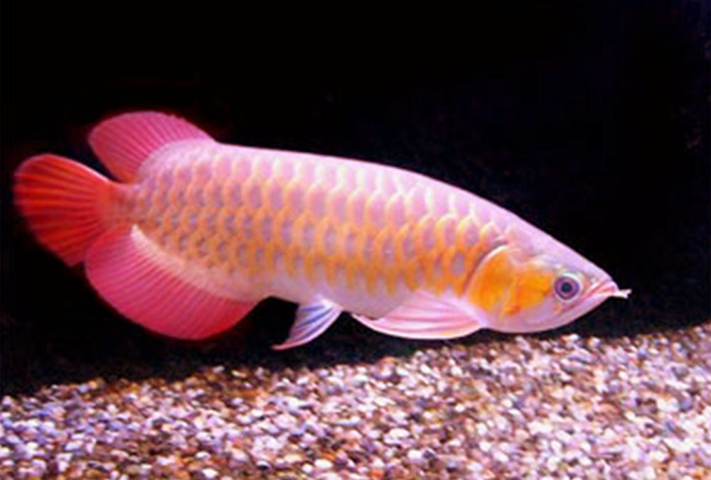 Life under the blue water arowana the royal aquarium fish for Dragon fish for sale