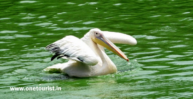 pelican , pelicans , pelican photos , pelican images , pelican in lake , pelikan bird
