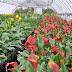 Выгонка тюльпанов 16