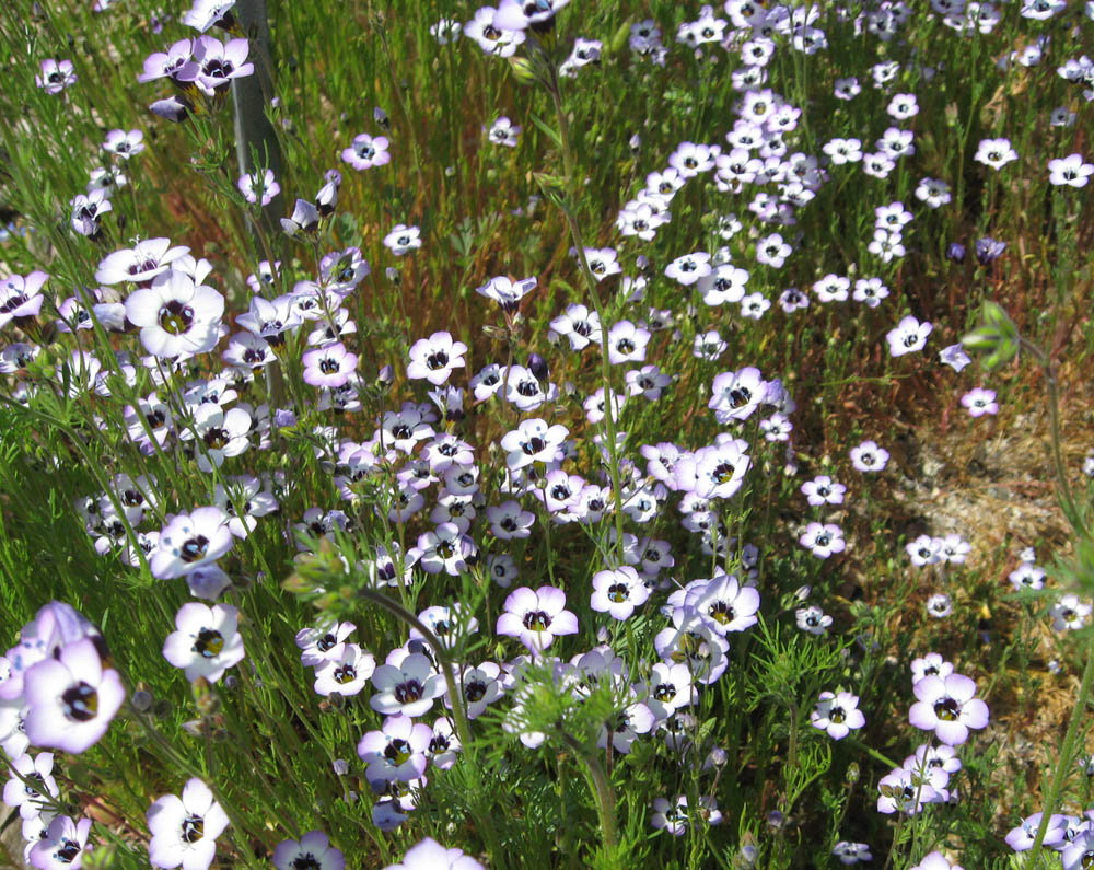 Plant Of The Month (April) : Birdu0027s Eye (Tricolor) Gilia   Gilia Tricolor