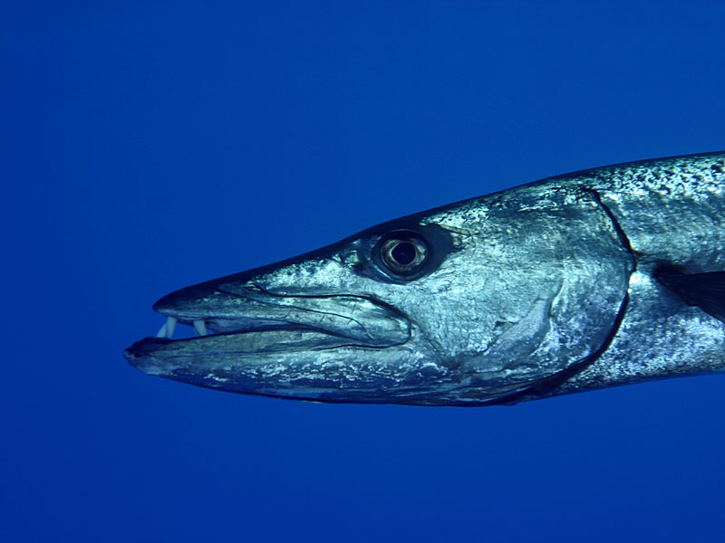 Barracuda eating fish