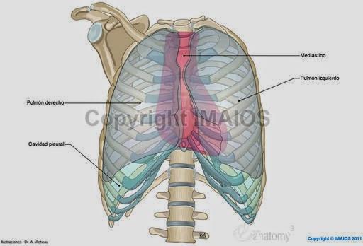 Morfofisiologia I: TÓRAX