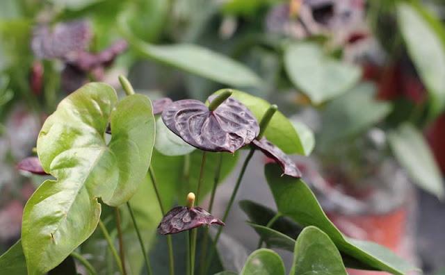 Anthurium Flowers Pictures