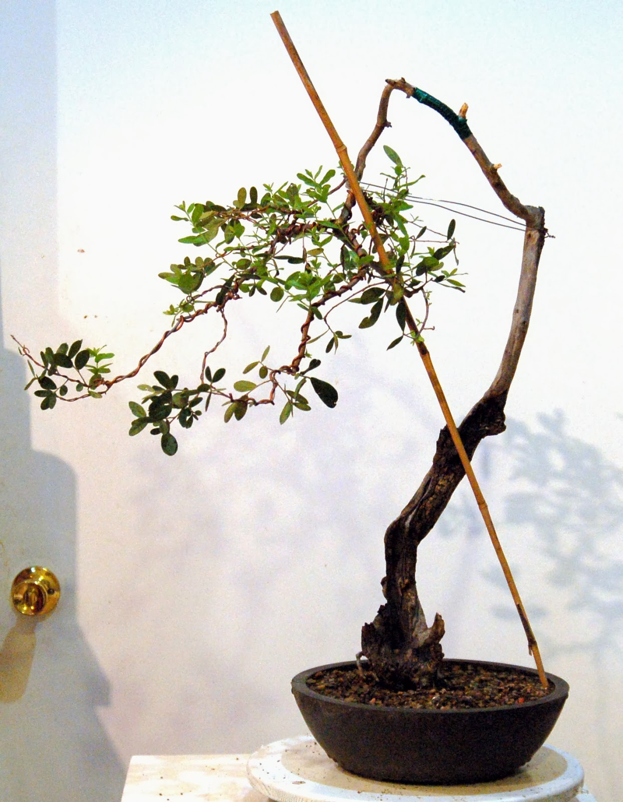 San Antonio Bonsai Plants Delivery San Antonio | Send ...