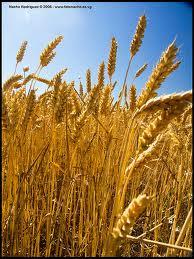 Unidos para levantar la cosecha