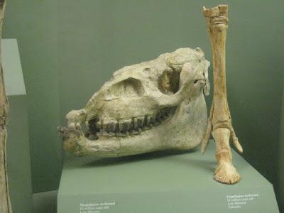Megahippus skull