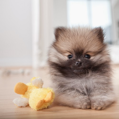 10 Interesting Facts about Pomeranian