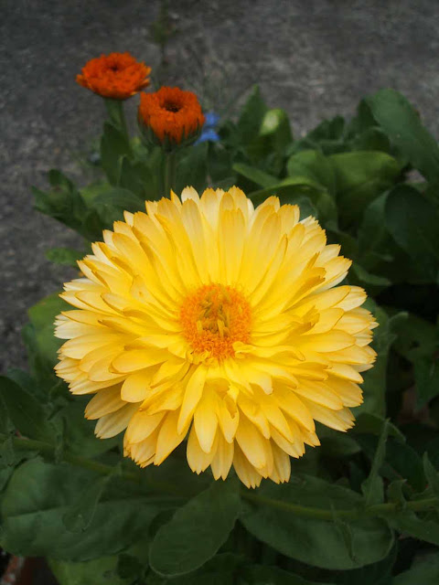 calendula plants growing in July sunny yello