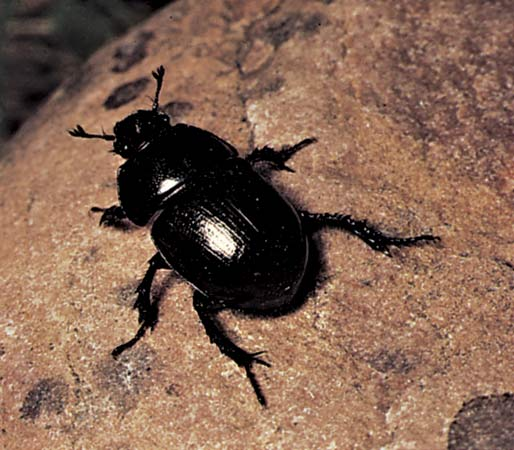 Image Result For Dung Beetle Coloring