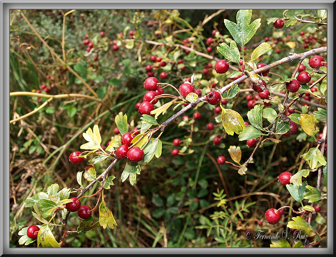 Plantas de la rioja crataegus monogyna jacq - Arbusto pequeno con flores ...