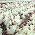 Modal Bertenak Ayam Broiler