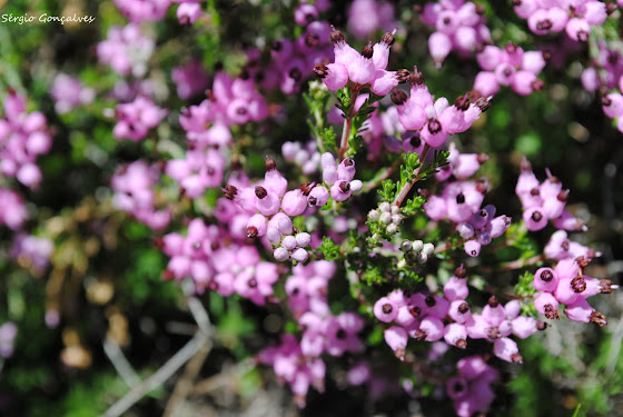 Urze / Erica em flor Conhecida também por torga