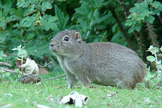 rodentia cuis chico Microcavia australis