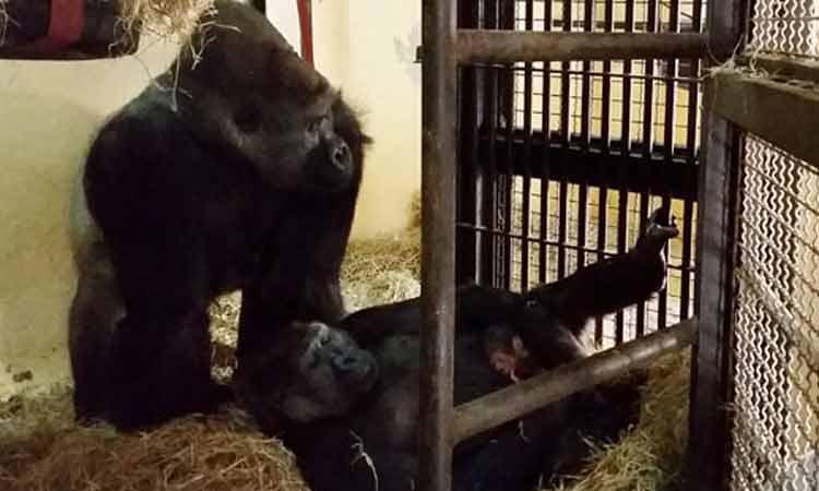 Votação para a escolha do nome do segundo gorila nascido em Zoológico da América do Sul termina nesta terça-feira