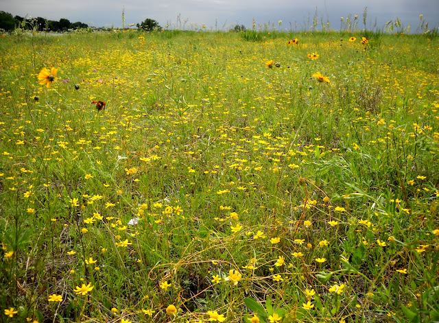 A field of assorted yellow wildflowers at Winfrey Point, White Rock Lake, Dallas