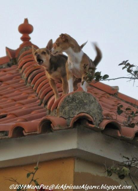 Cães num telhado