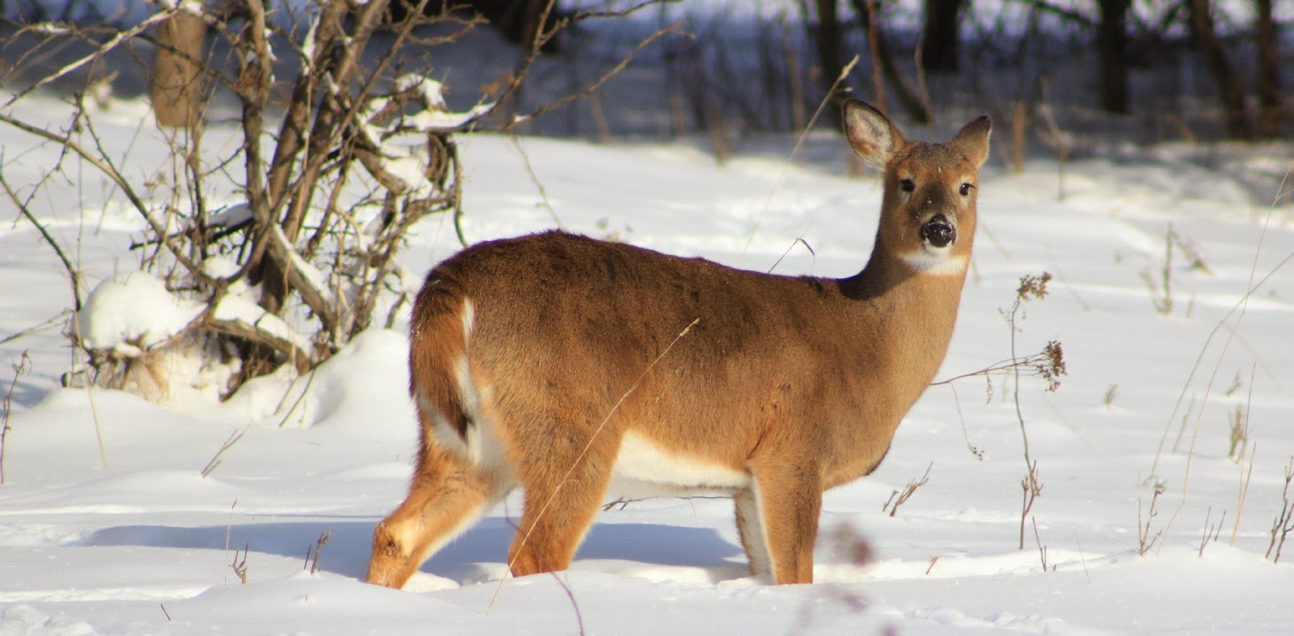 photo of deer in snow