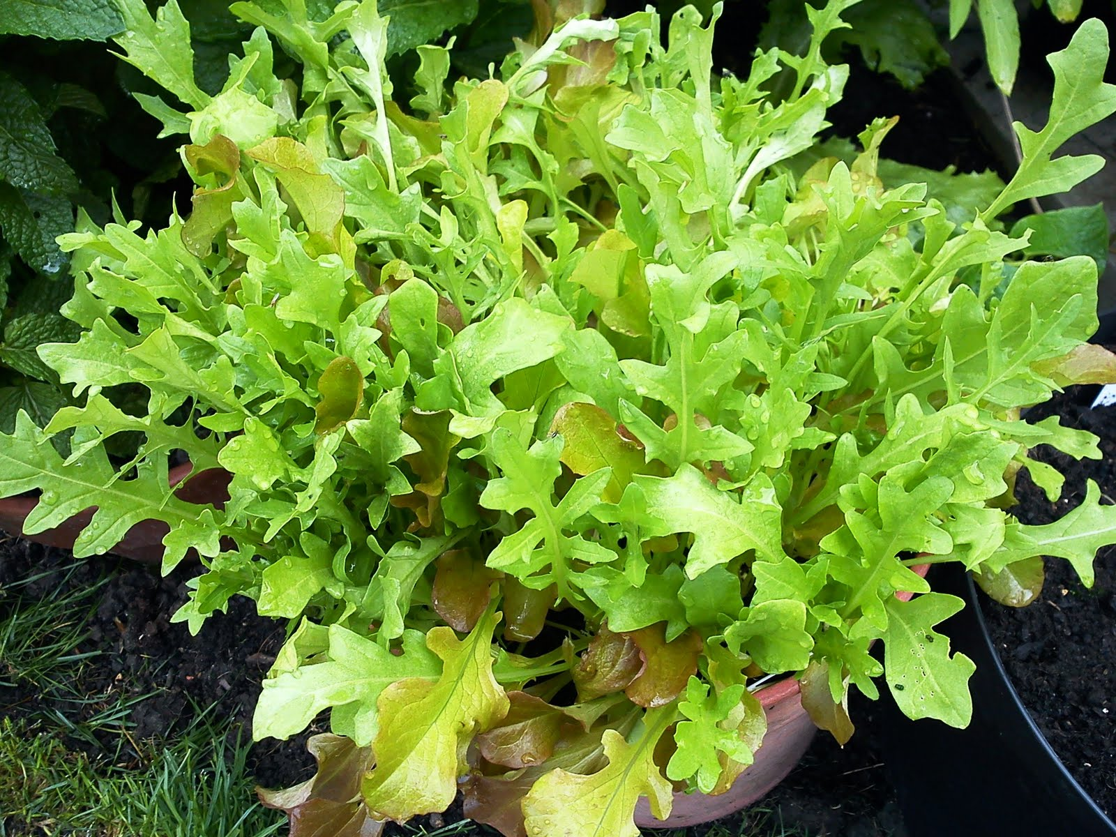 how to grow rocket lettuce