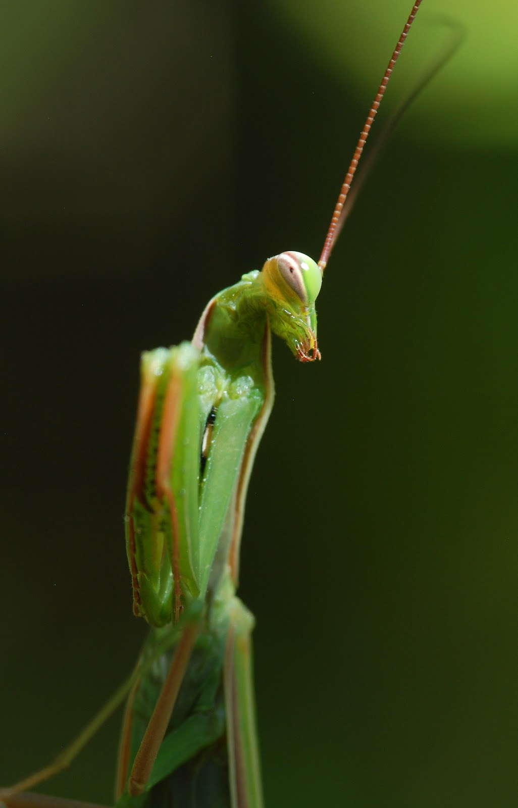 a study on the praying mantis Female praying mantises have a habit of killing and eating their partners during sex, which sucks for the male or does it a fascinating new study shows this sacrifice is actually giving.