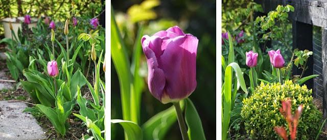 Lavendelblå tulipan