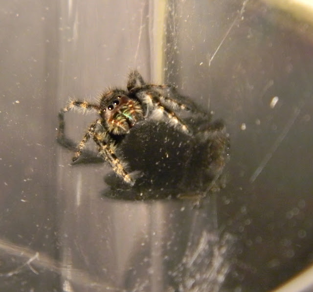 Hahriette the Daring Jumping Spider at Michigan Spiders