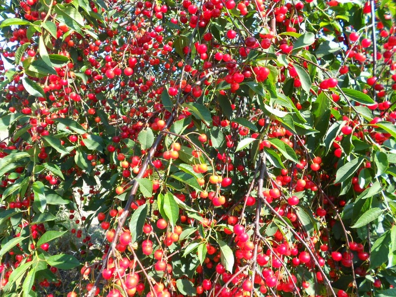 Arbusti e piante ciliegio visciolo o amarasco prunus for Pianta di ciliegio