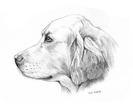 how to draw golden lab
