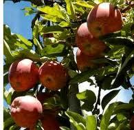La Manzana La Superfruta