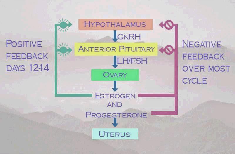 kompleks hipotalamus-hipofisis-ovarium.