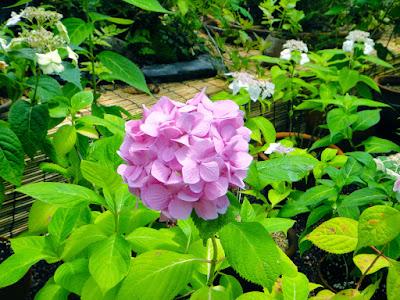 Pink Hydrangea at the Garden of Morning Calm South Korea