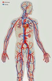 http://luisamariaarias.wordpress.com/cono/tema-2-a-nutricion-no-ser-humano/sistema-circulatorio/