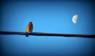 luna enamorada de un gorrión (como si fuera yo)