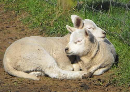 chordata,mammalia,artiodac,bovidae,caprine,ovis,sheep,cattle,