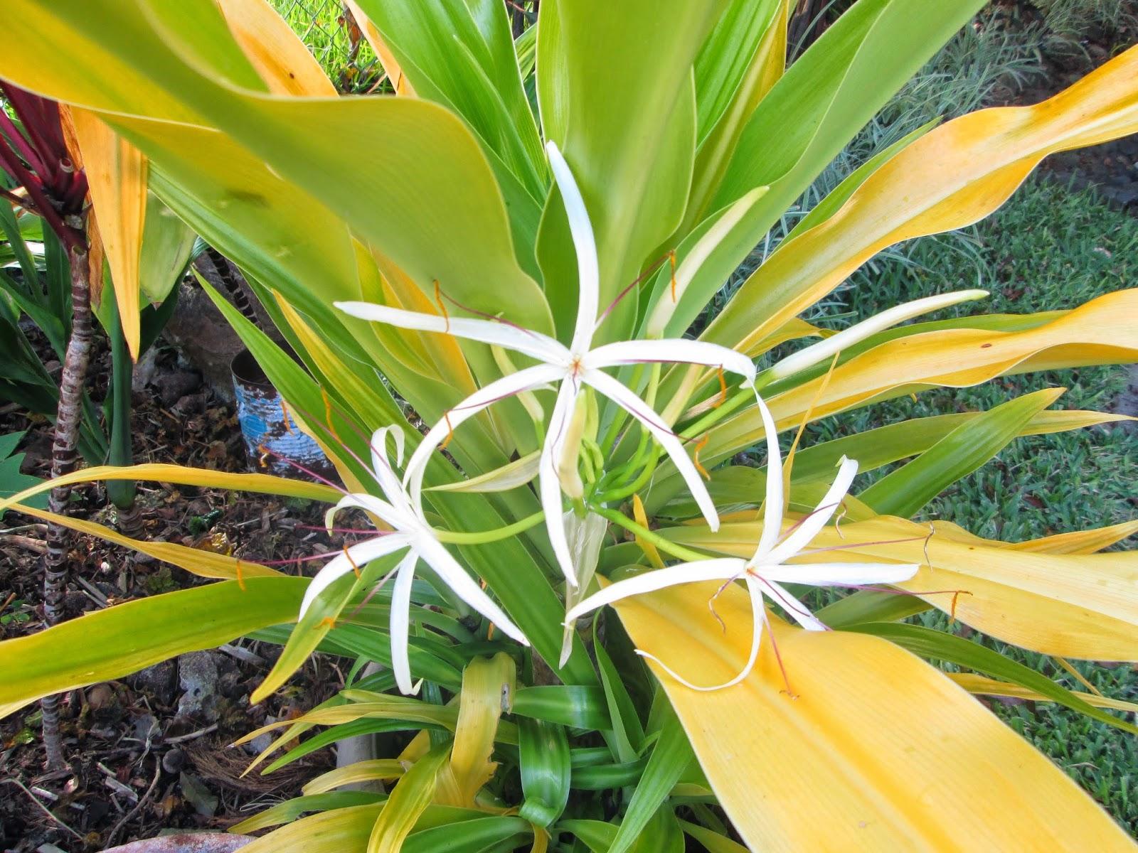 Garden Notes From Hawaii Golden Spider Lily Crinum Xanthophyllum